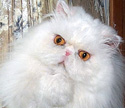Email me at nypersians@gmail.com about persian or himalayan kittens
