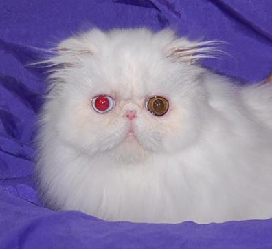 Odd-Eyed White Persians