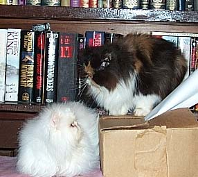 calico persian and copper eyed white persian