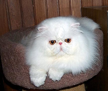 Copper Eyed White Persian