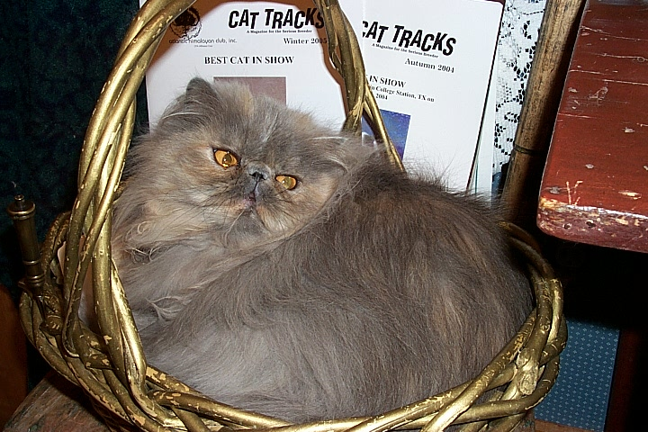 mewtiny, bluecream persian from Stanwick Cattery in S Africa, Rusty Human breeder
