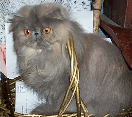 bluecream persian from S Africa