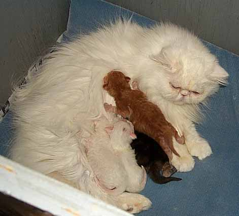 """Mouse"" and her babies: Mouse is a copper eyed white persian, shown here with her red persian, black persian and white persians"