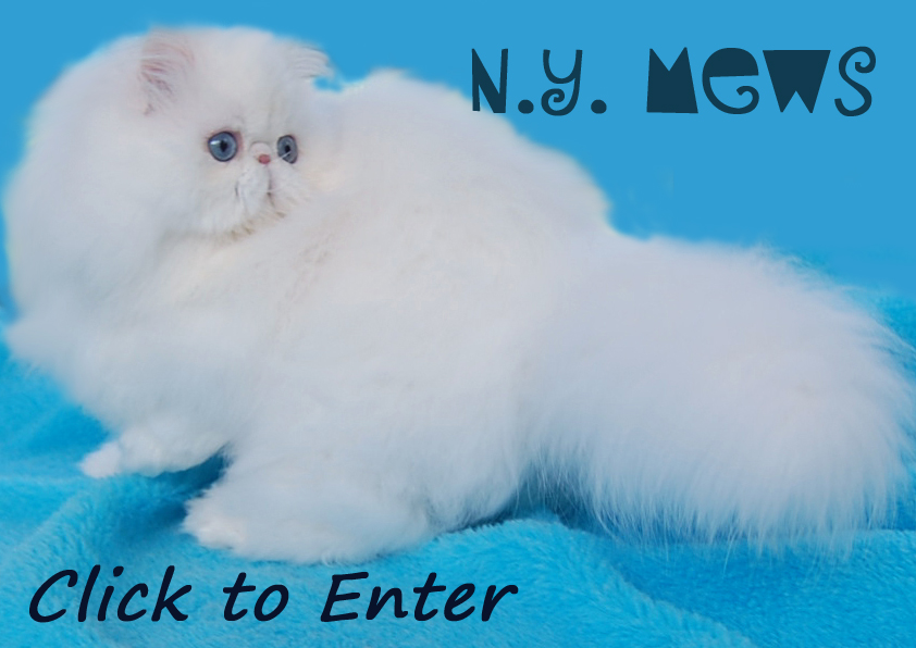 NYMews White  Persians and Himalayans kittens