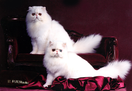 Odd-eyed white persian and copper eyed white male