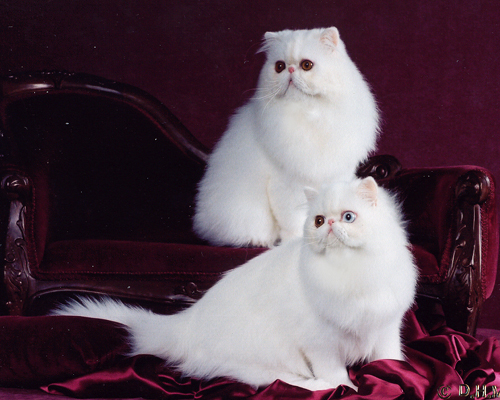odd eyed white female persian and copepr eyed whiote male persian: Oddysee and Gio