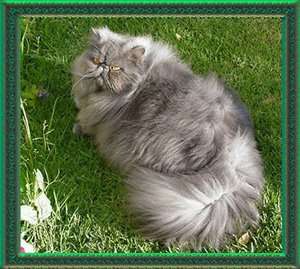 Imp Supreme Grand Champion Stanwick Buk-I-Paws, blue male persian